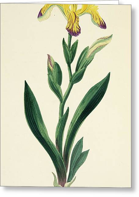 Variegated Iris Greeting Card