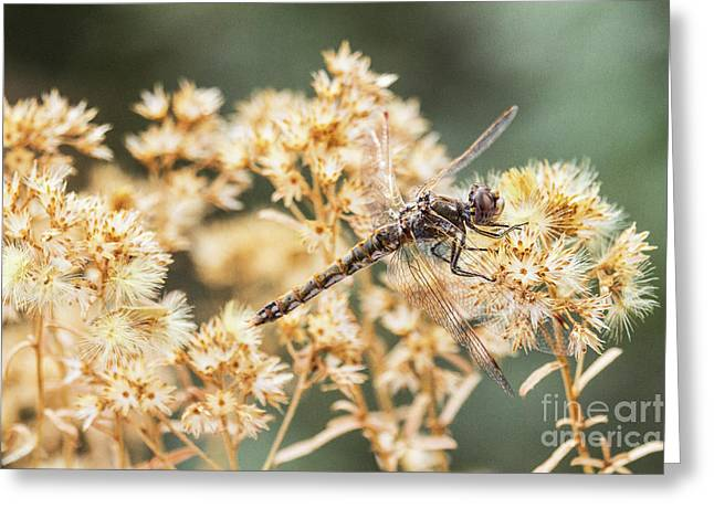 Variegated Meadowhawk On Yellow  Greeting Card by Ruth Jolly