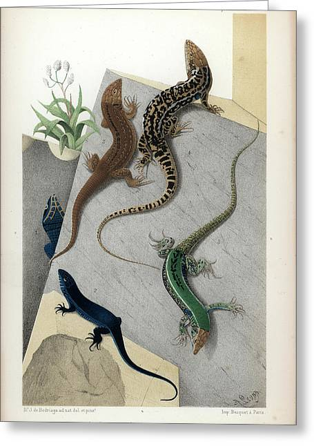 Greeting Card featuring the drawing Varieties Of Wall Lizard by Jacques von Bedriaga