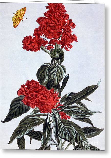 Variety Of Amaranthus Greeting Card by Pierre-Joseph Buchoz