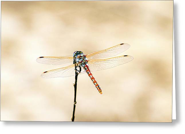 Varigated Meadowhawk Dragonfly Sympetrum Corruptum Greeting Card by Frank Wilson