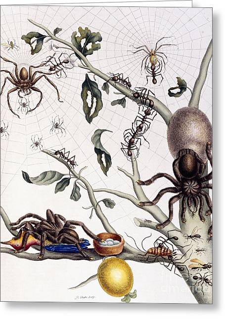 Various Arachnids From South America, 1726  Greeting Card