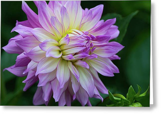 Veca Lucia Dahlia 2 Greeting Card