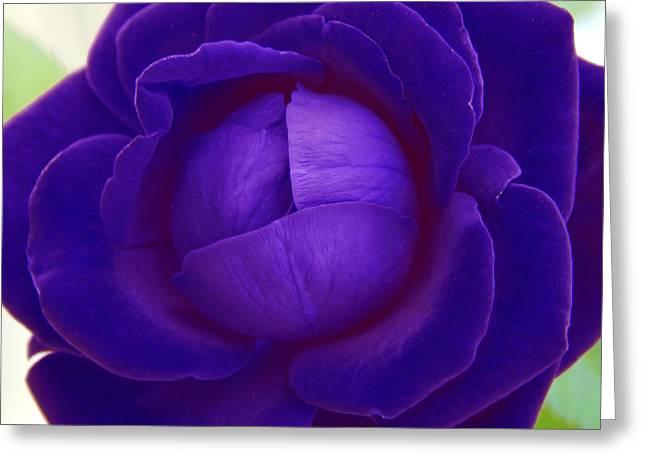 Velvet Blue Lettuce Rose Greeting Card