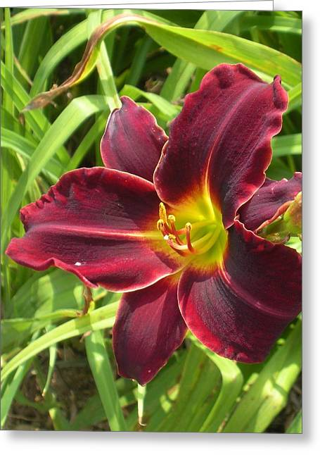 Velvet Day Lily Greeting Card by Jeanette Oberholtzer