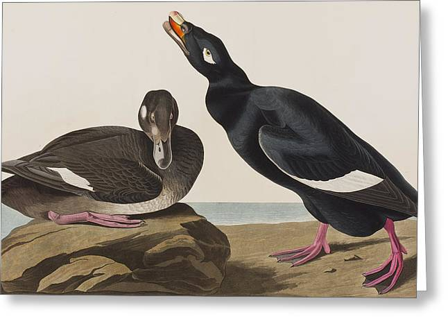 Velvet Duck Greeting Card by John James Audubon