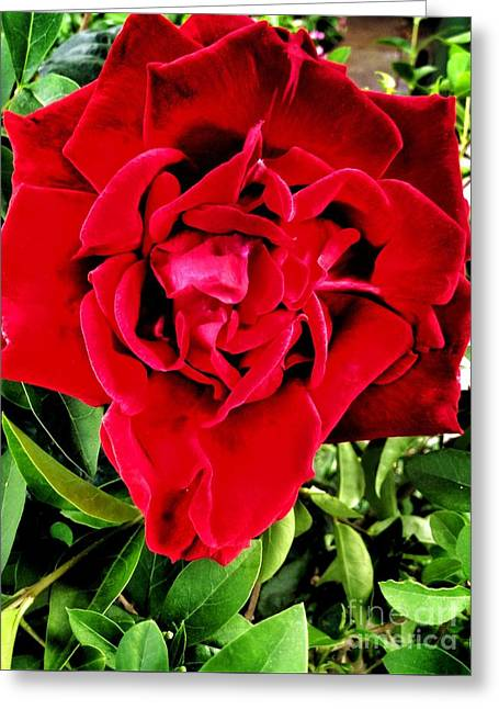 Velvet Red Rose Greeting Card