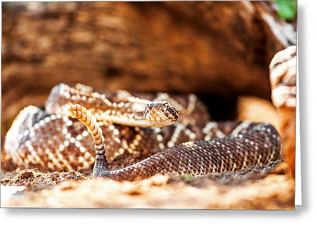 Venomous South American Rattlesnake By Rock Greeting Card