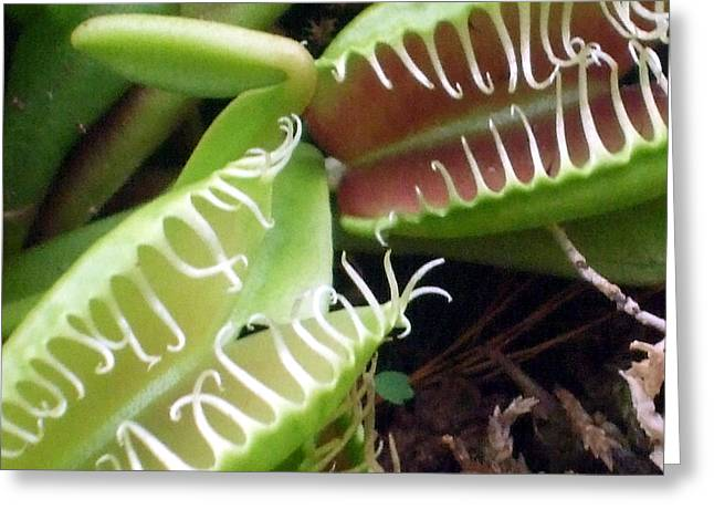 Venus Fly Traps Greeting Card by Mindy Newman
