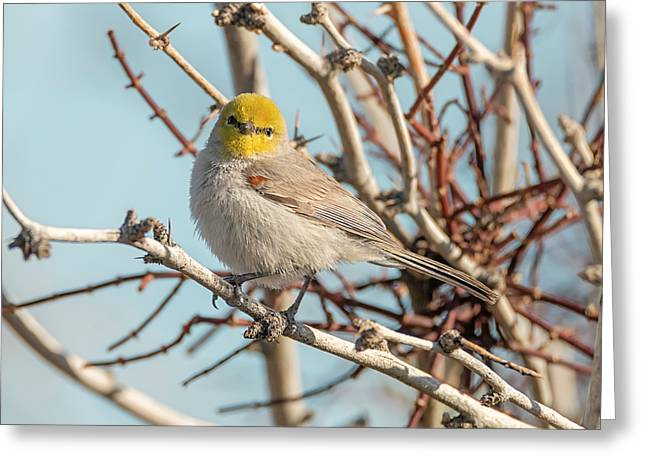 Verdin Greeting Card by Loree Johnson