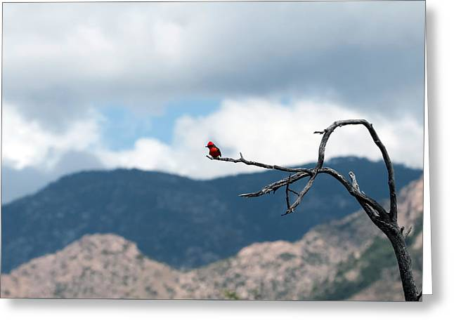 Vermillion Flycatcher Male Greeting Card