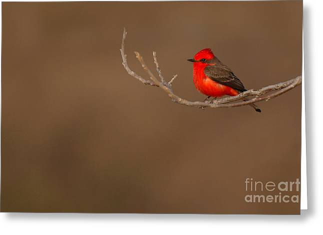 Vermillion Flycatcher On Early Spring Perch Greeting Card by Max Allen