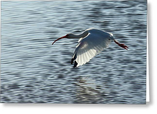 Ibis Fly By Greeting Card