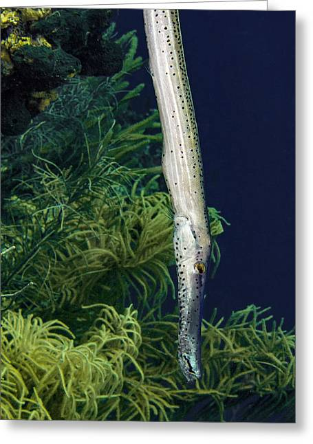 Vertical Trumpet Fish Greeting Card by Jean Noren