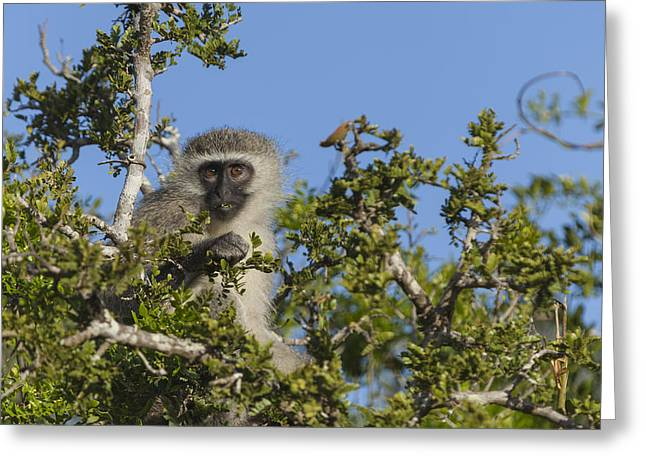 Vervet Monkey Perched In A Treetop Greeting Card
