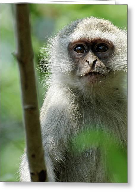 Vervet Monkey Greeting Card by Robert Shard