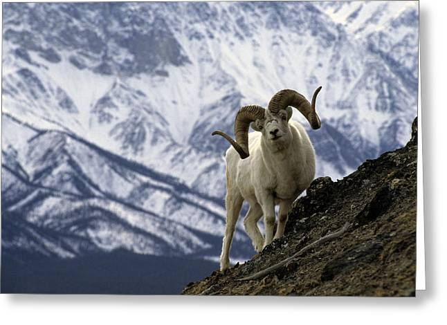 Very Large Dall Sheep Ram On The Grassy Greeting Card by Michael S. Quinton