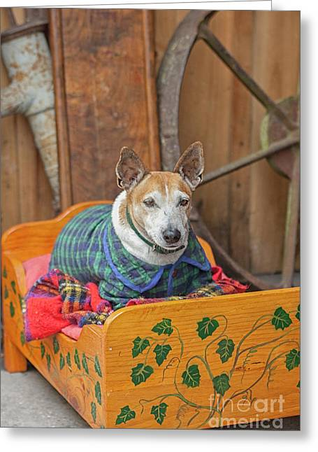 Greeting Card featuring the photograph Very Old Pet Dog In Clothes On Own Bed by Patricia Hofmeester