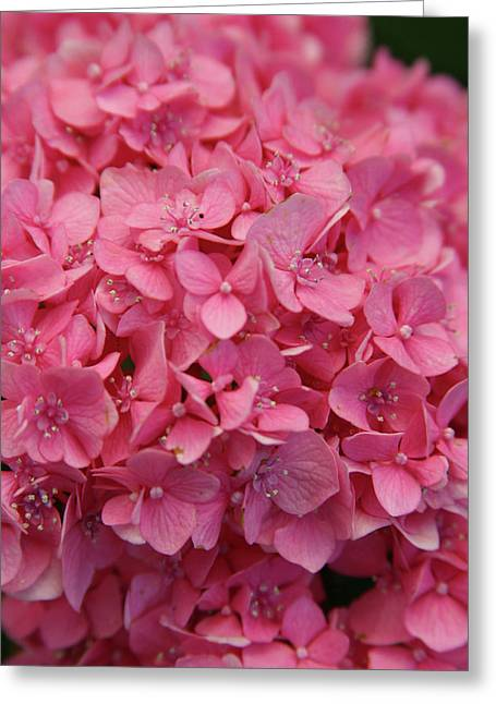 Very Pink Hydrangea Blossoms 2578 H_2 Greeting Card
