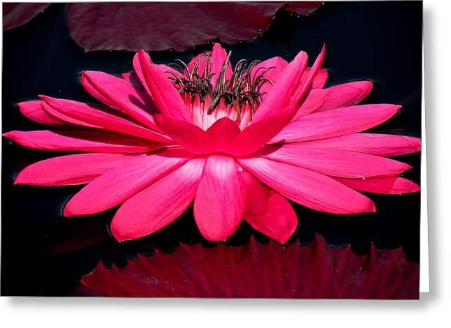 Very Pink Greeting Card by Rosalie Scanlon