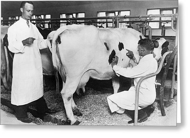 Vets Give Cow A Physical Greeting Card by Underwood Archives
