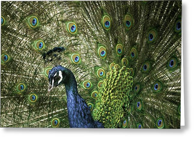 Vibrant Peacock Greeting Card by Jason Moynihan