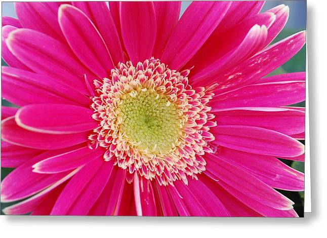 Vibrant Pink Gerber Daisy Greeting Card by Amy Fose