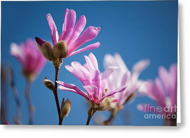 Vibrant Pink Magnolia Flowers Greeting Card by Arletta Cwalina
