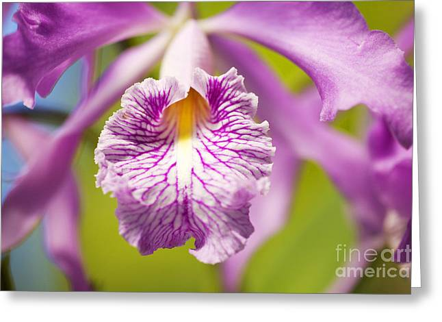 Vibrant Pink Orchid Greeting Card by Ron Dahlquist - Printscapes