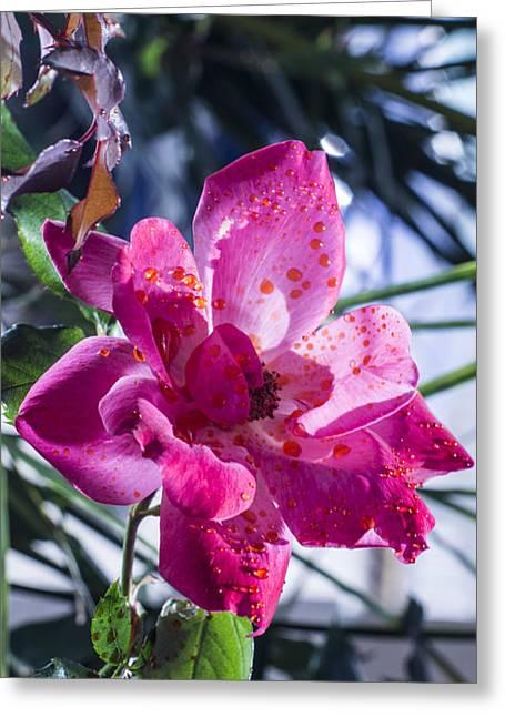 Vibrant Pink Rose Greeting Card