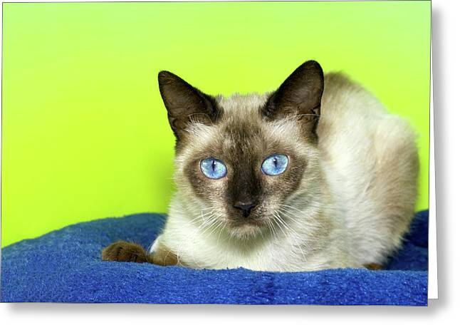 Vibrant Portrait Of A Siamese Cat Greeting Card