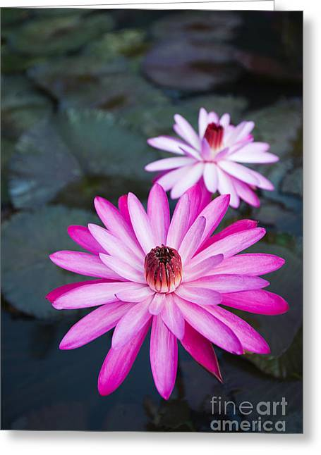Vibrant Waterlilies Greeting Card by Dana Edmunds - Printscapes