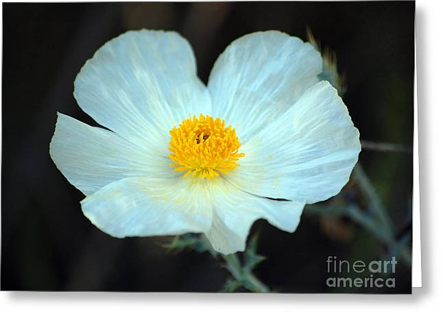 Vibrant White And Yellow Texas Wildflower Greeting Card