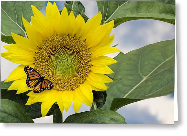 Viceroy And Sunflower Greeting Card