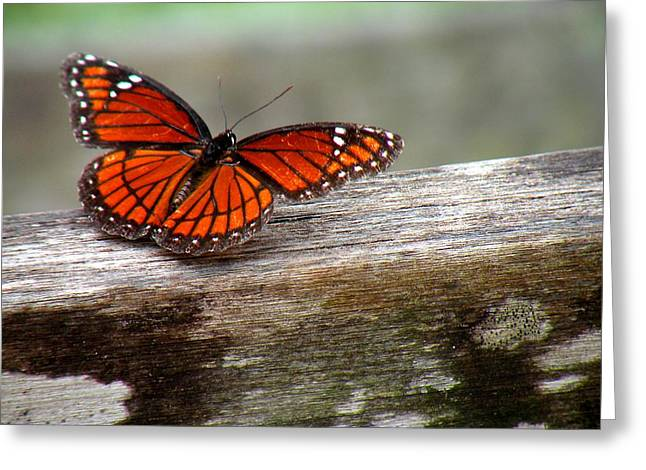 Viceroy Butterfly Front View Greeting Card by Rosalie Scanlon