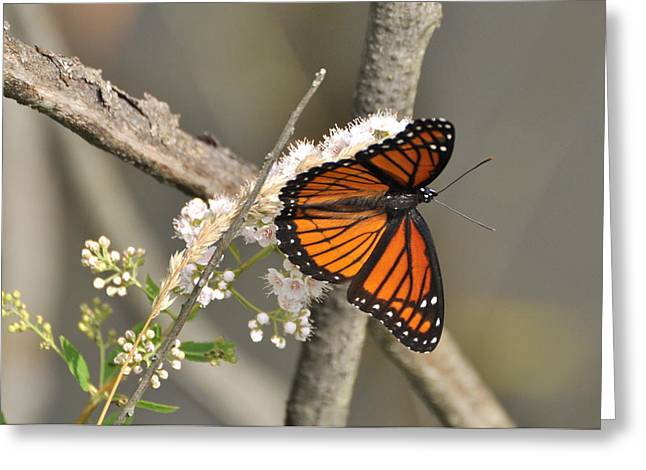 Viceroy Butterfly Greeting Card by Gerald Hiam