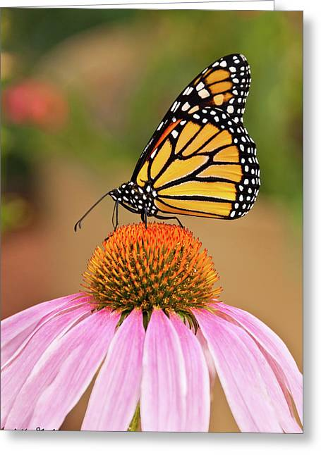 Monarch Butterfly On A Purple Coneflower Greeting Card
