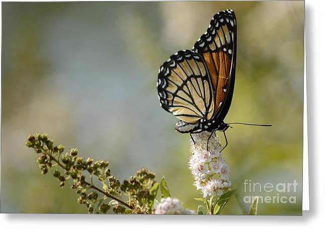 Viceroy Greeting Card by Randy Bodkins