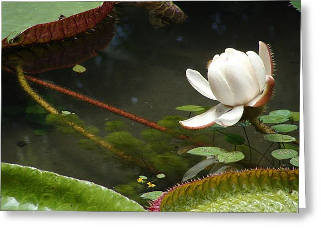 Emilio Greeting Cards - Victoria amazonica 03 Greeting Card by Nelson Caramico