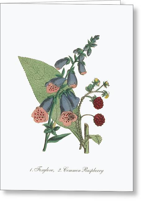 Victorian Botanical Illustration Of Foxglove And Common Raspberry Greeting Card by Peacock Graphics