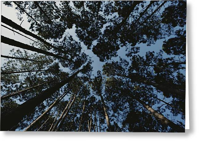 View Looking Up At The Tops Of Loblolly Greeting Card by Bates Littlehales
