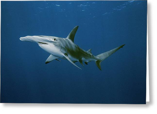 Hammerhead Sharks Greeting Cards - View Of A Hammerhead Shark Greeting Card by Brian J. Skerry