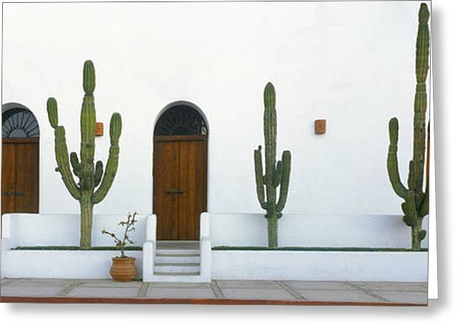 Baja California Greeting Cards - View Of Cardon Cactus Plants Greeting Card by Panoramic Images