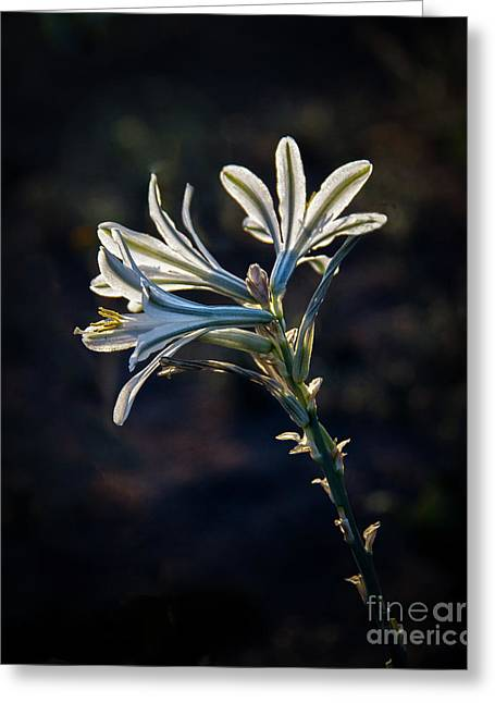 Greeting Card featuring the photograph Vignetted Ajo Lily by Robert Bales