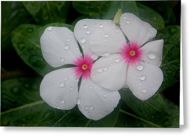 Vinca Eyes Greeting Card