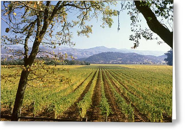 Vines In A Vineyard, Far Niente Winery Greeting Card