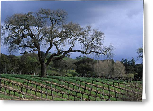 Vineyard - Foxen Canyon Greeting Card by Soli Deo Gloria Wilderness And Wildlife Photography