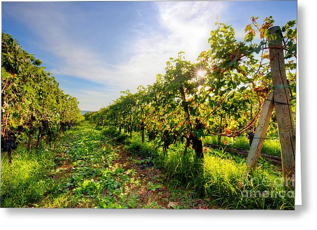 Vineyard In Tuscany, Ripe Grapes Greeting Card
