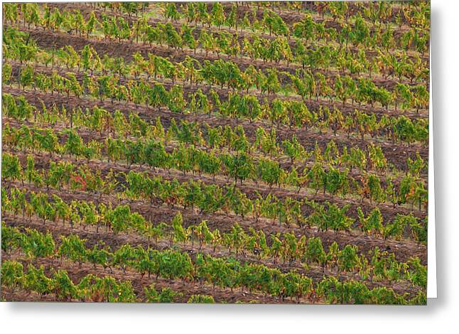 Vineyard Of Portugal Greeting Card by David Letts