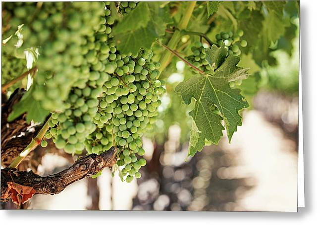 Wine Vineyard Of St. Helena - Grapevine Napa Valley Photography Greeting Card by Melanie Alexandra Price